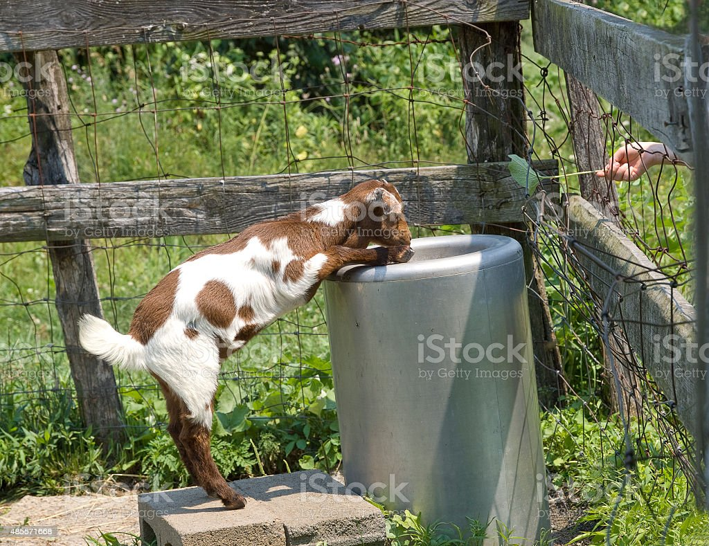 Young Goat Standing Up And Drinking stock photo