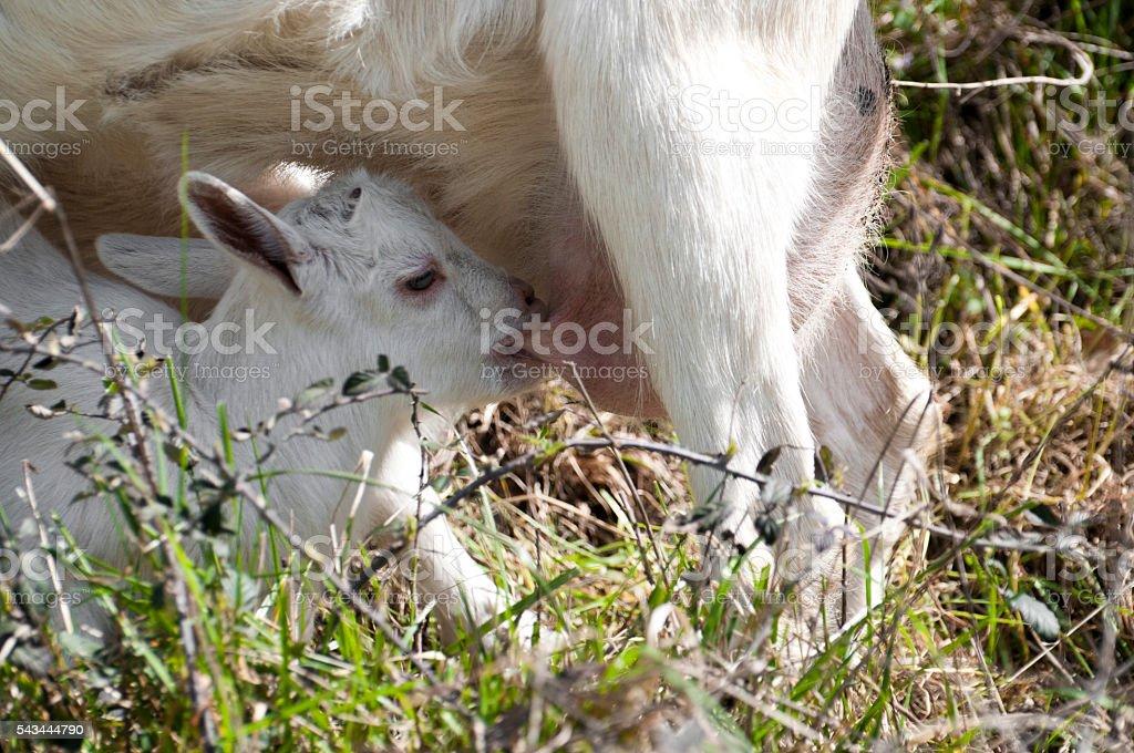 Jeune chèvre nourrisson - Photo