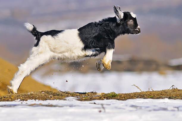 Junge goatling spielen im Freien – Foto