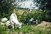 Young goats choose healthy herbs and plants for food. Horned goat eating fresh grass.