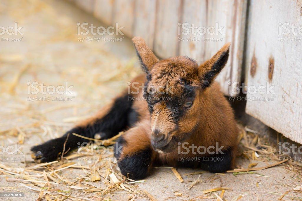Jeunes chèvres - Photo