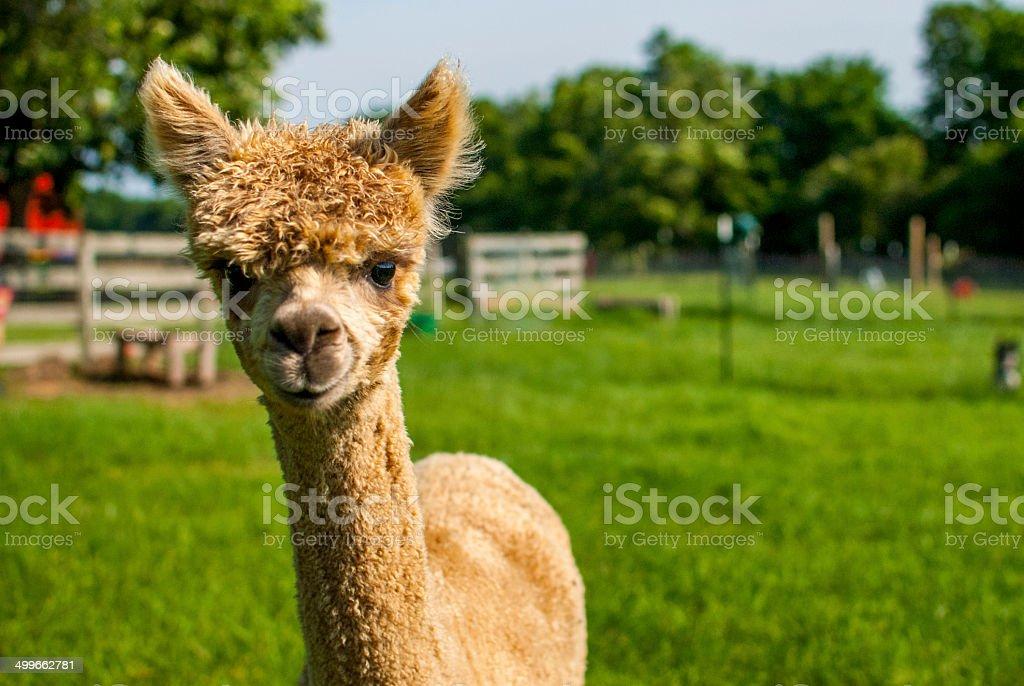 Young Golden Alpaca on a Farm foto