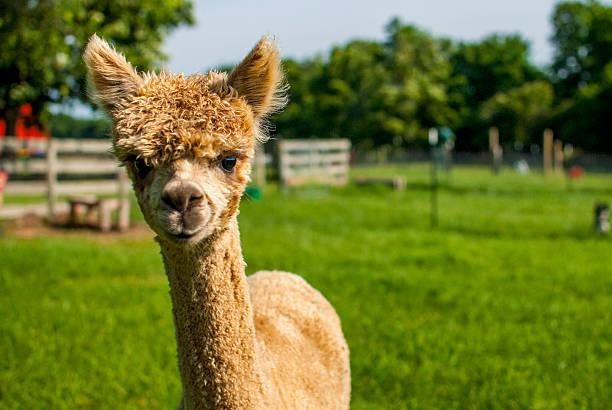 golden joven en una granja de alpaca - alpaca fotografías e imágenes de stock