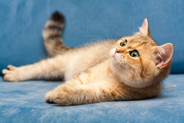 A young Golden British cat with green eyes lies on a blue sofa stock photo