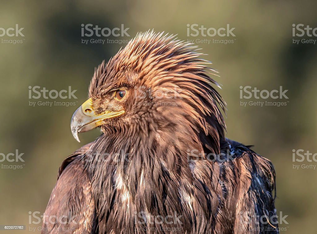 Young Golden Eagle Profile stock photo