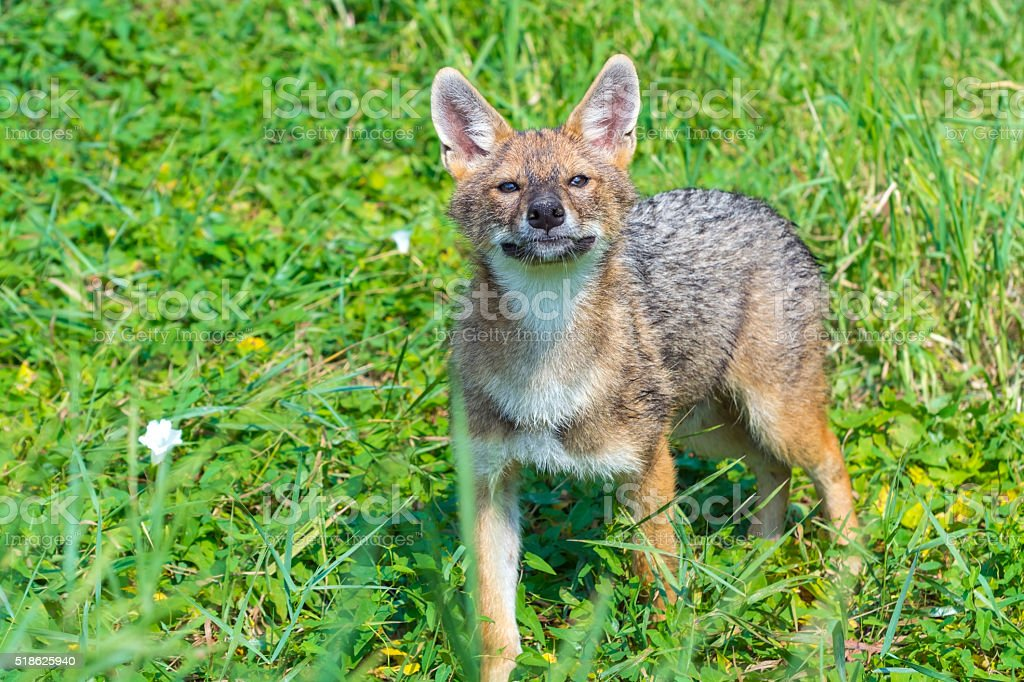 Young Golden Jackal Stock Photo More Pictures Of Animal Istock
