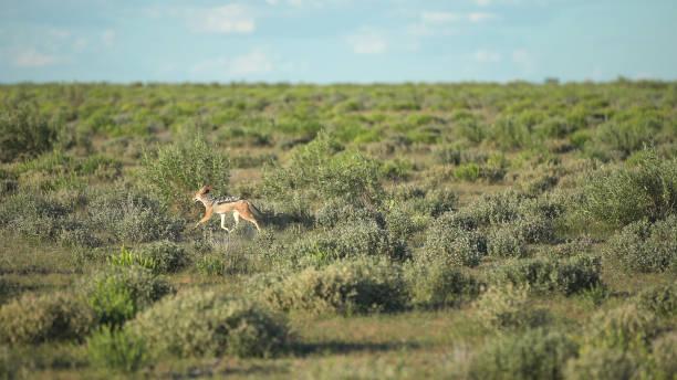 junge goldschakal spaziergang durch savanne - goldschakal stock-fotos und bilder