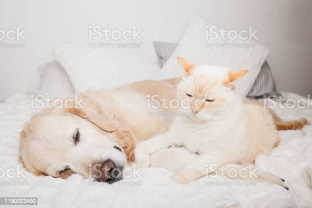 Young golden retriever dog and cute mixed breed red cat on cozy plaid picture id1190023450?b=1&k=6&m=1190023450&s=612x612&h=4gjuwhfi ylhwhviojeiemtcyfyxbqqg 91 hzrw8jo=