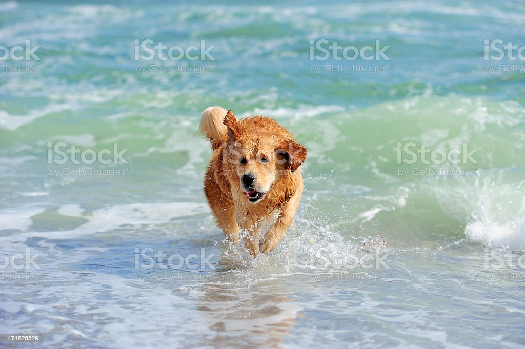 Young golden retriever royalty-free stock photo