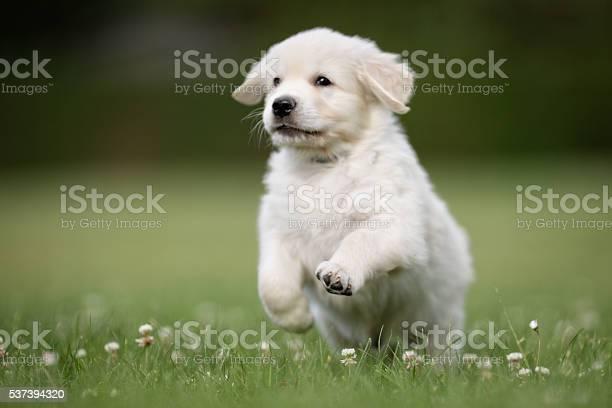 Young golden retriever puppy picture id537394320?b=1&k=6&m=537394320&s=612x612&h=cqehsjaghhbnfl3ewkftvkopfd3brk4jpw4p 8gnvwe=