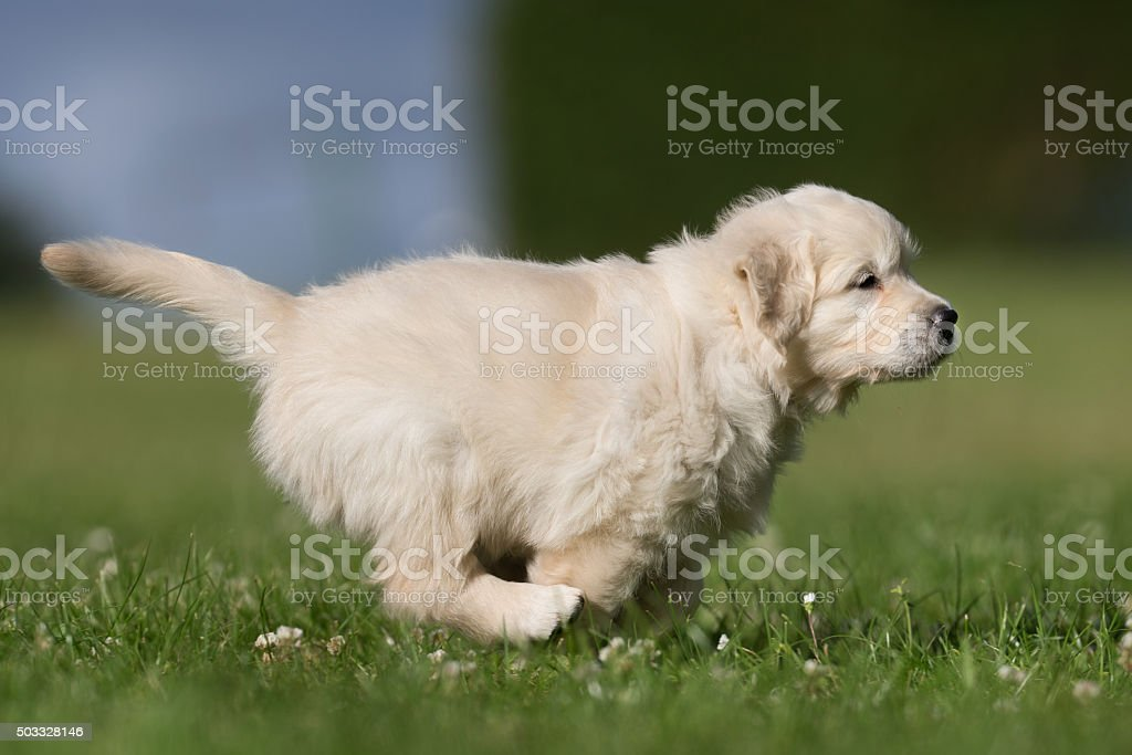 Young Golden Retriever Puppy Running Away Stock Photo More