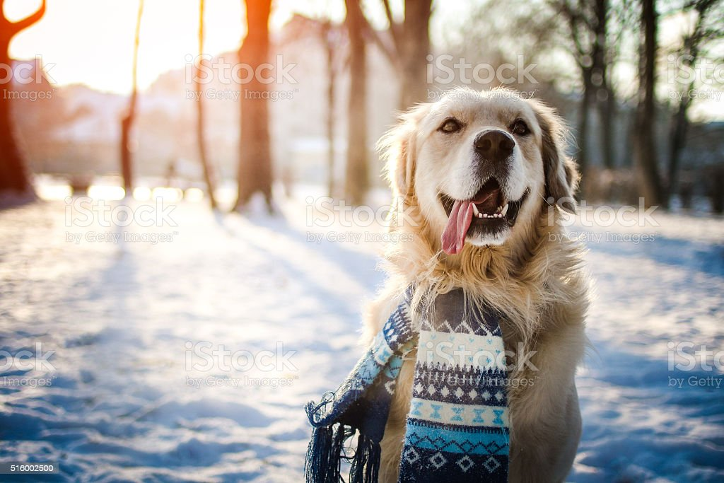 Young golden retriever sitting at the snow stock photo