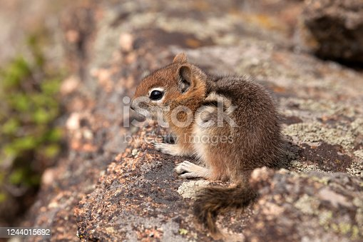 Sitting on a lichens covered granite boulder, a young golden-mantled ground squirrel enjoys the Mount Evans Wilderness in the Front Range of the Colorado Rocky Mountains.