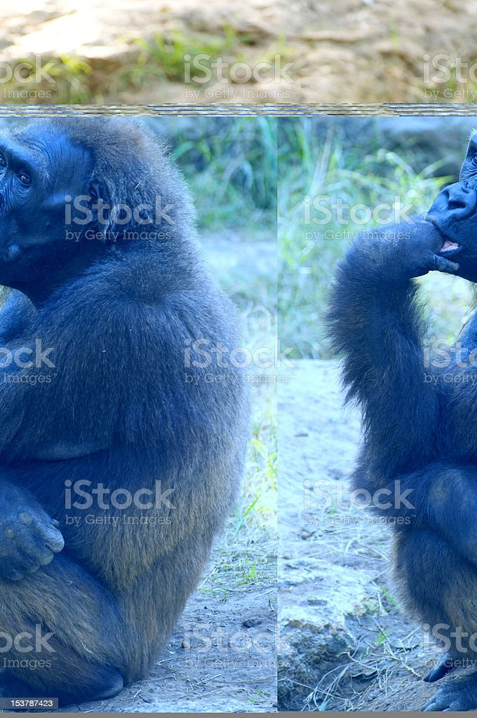 Young Gorilla sit royalty-free stock photo