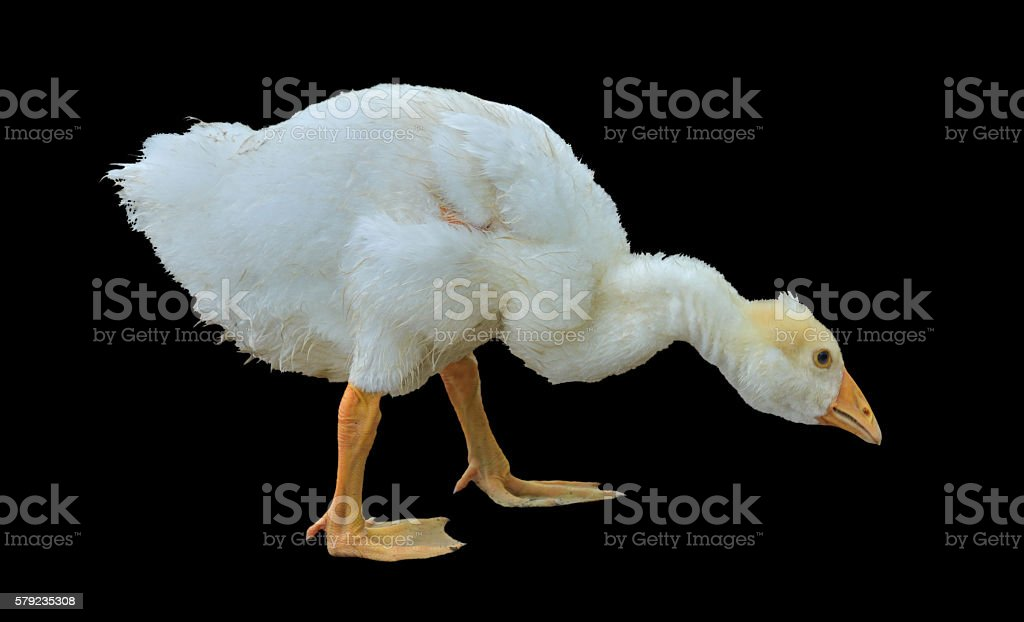 Young gosling stock photo