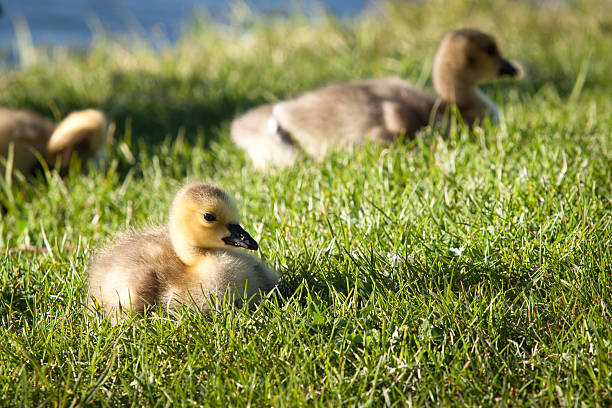 Young goslings stock photo