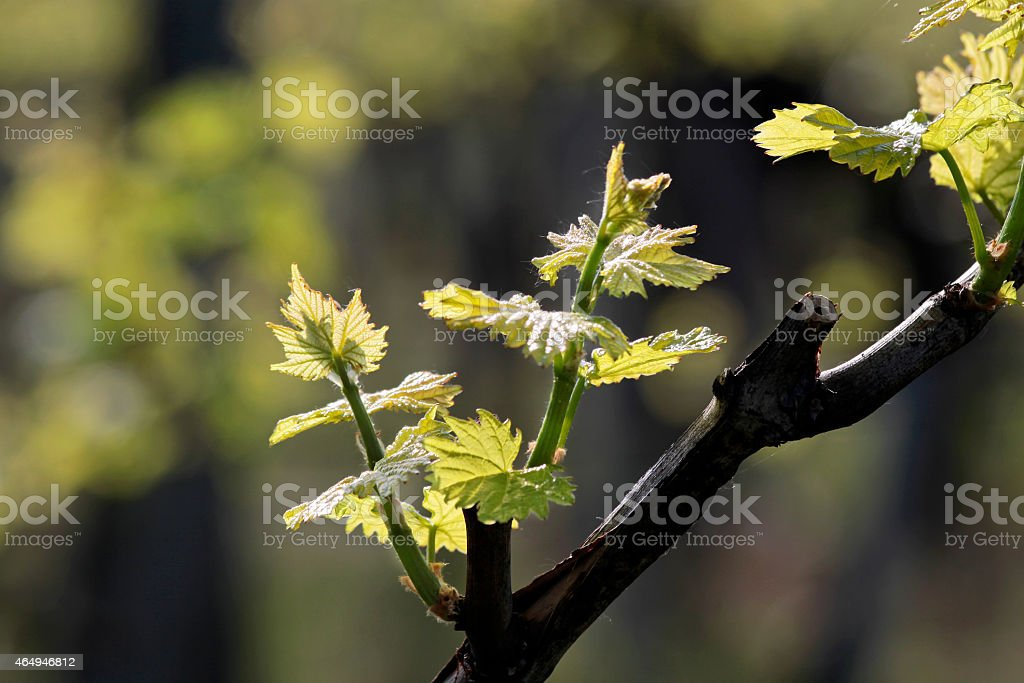 Young grape leaves in spring time stock photo