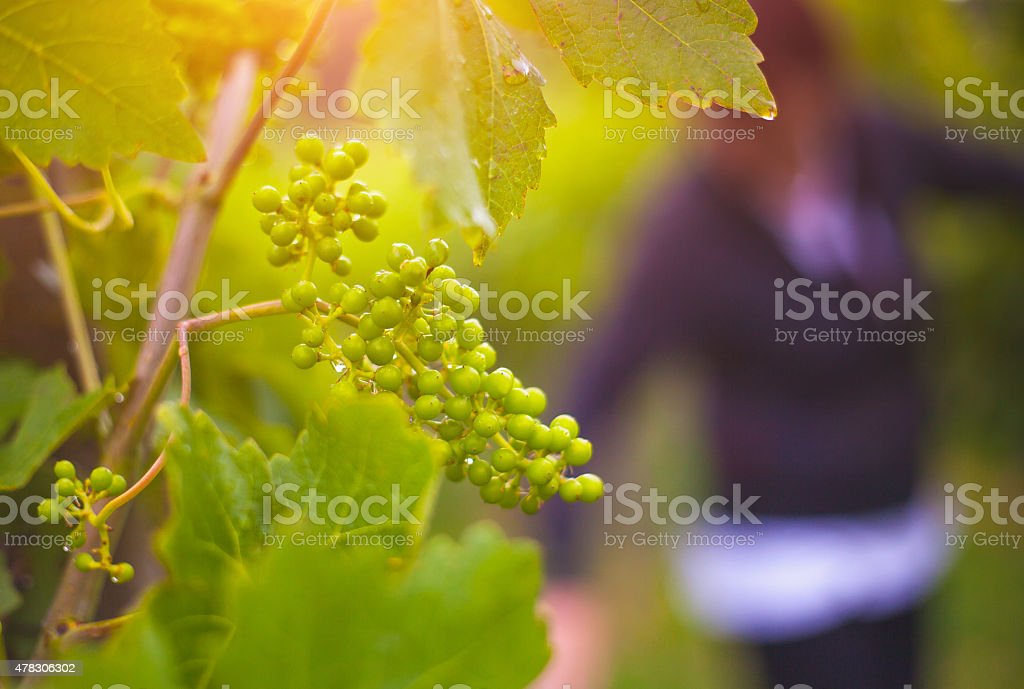 Young grape plant at the vineyard stock photo