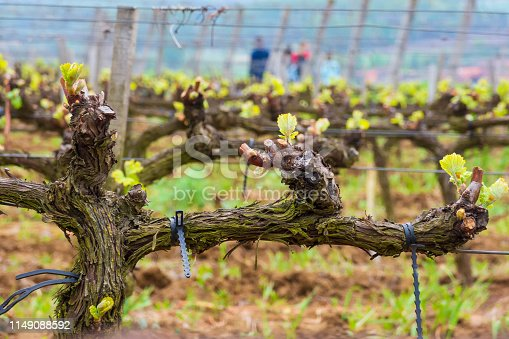 Young grape shoots at the vineyard. Tokaj - famous wine producing region in Hungary