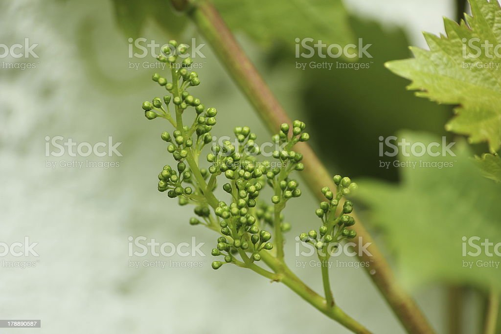 Young Grapes Forming in an Organic Garden. stock photo
