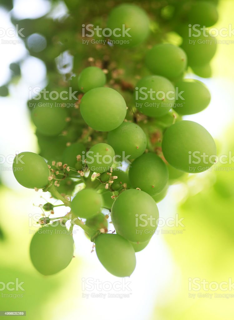 young grapes in bloom stock photo