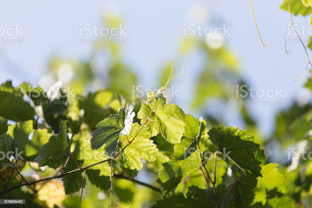 young grapes on nature stock photo