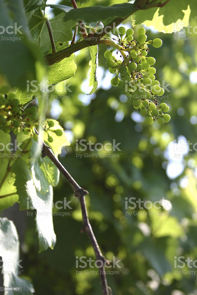 Young grapes royalty-free stock photo