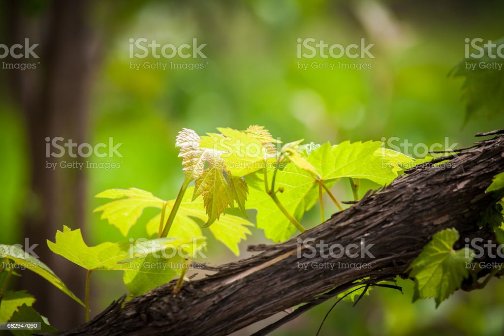 Young grapevine leavees royalty-free stock photo