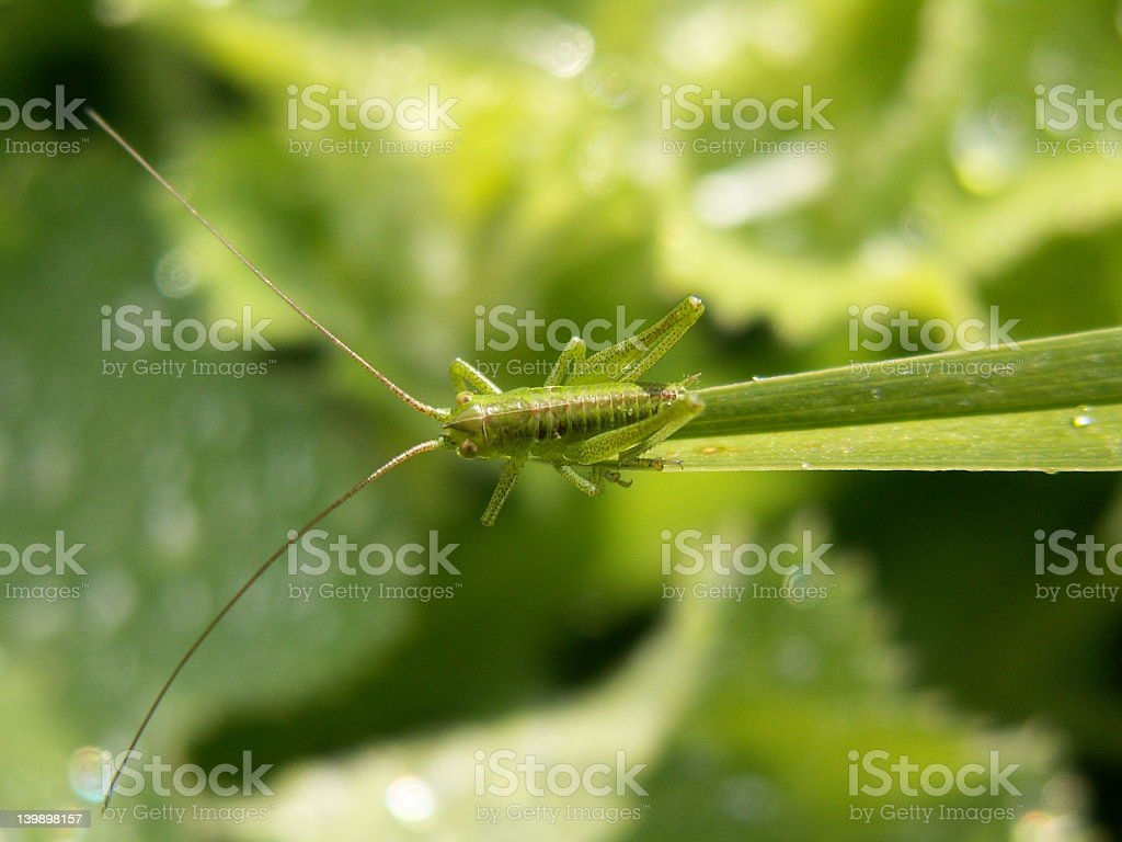 young grasshoper in wet green world royalty-free stock photo
