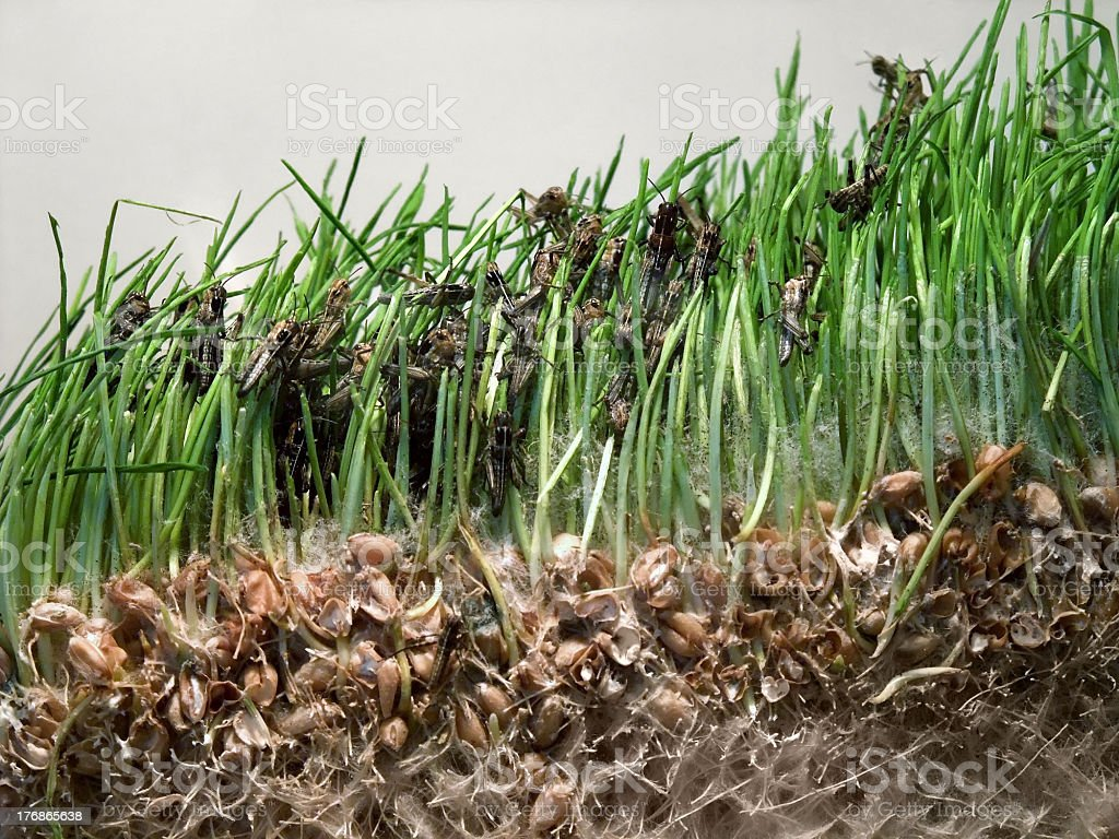 young grasshoppers stock photo