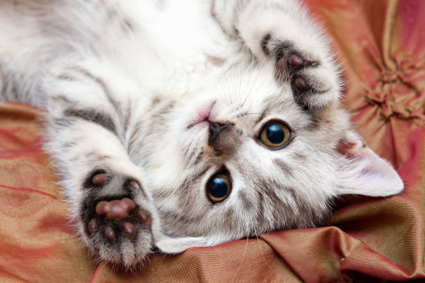 A young gray British cat lies upside down on the bed stock photo