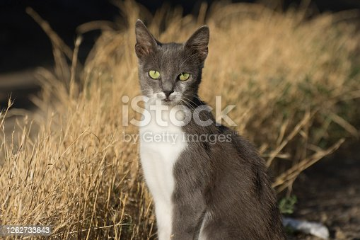istock A young gray cat looks into the camera. Pets and their care. 1262733643