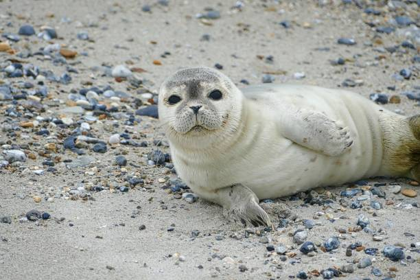 Young gray seal lying at the beach - Helgoland Young gray seal lying at the beach - Helgoland seal pup stock pictures, royalty-free photos & images
