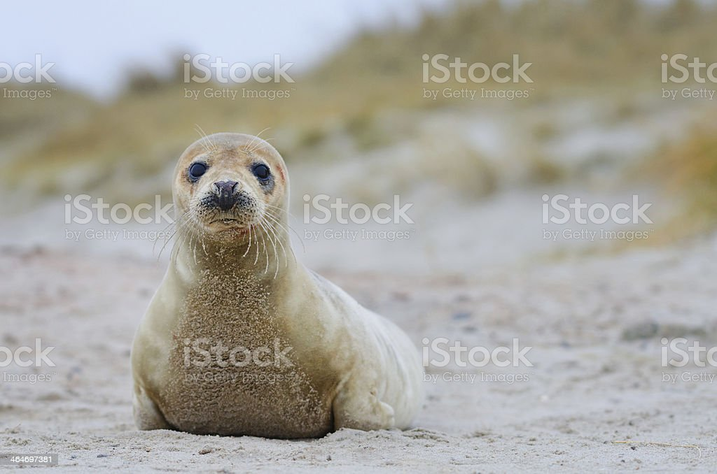 Young Gray Seal stock photo