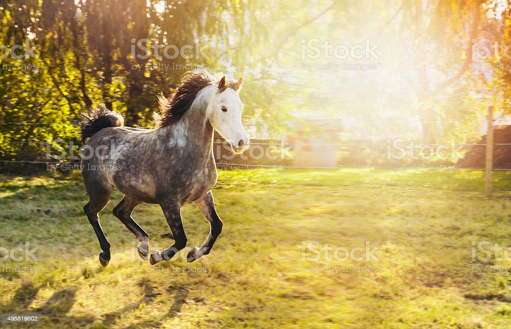 Young gray stallion with white head and Black mane running stock photo