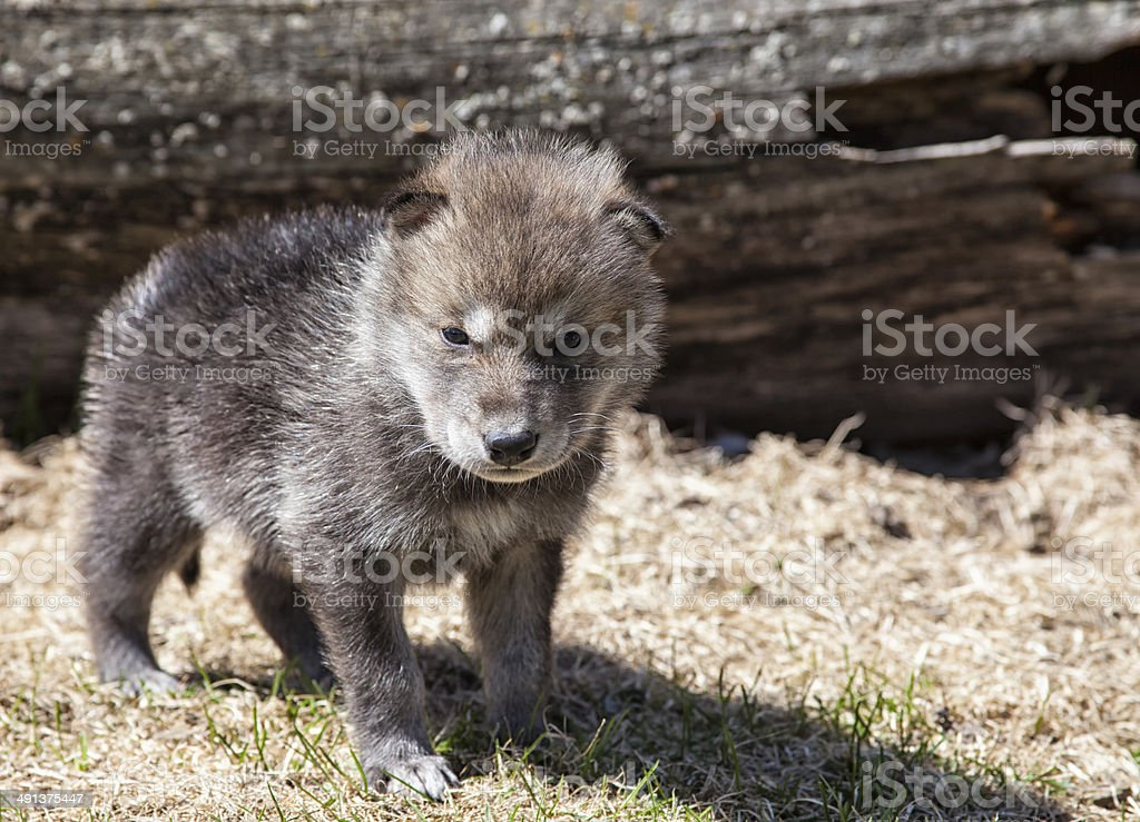 Young, gray wolf pup stock photo