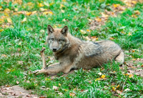 Young gray wolf with bone.