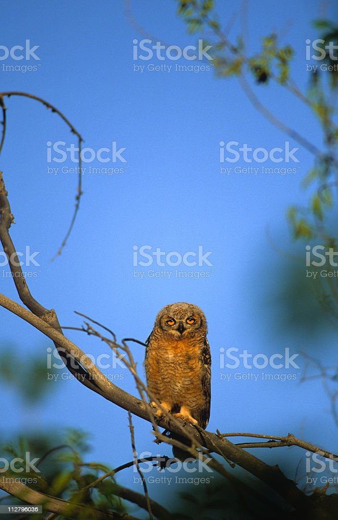 Young Great Horned Owl royalty-free stock photo