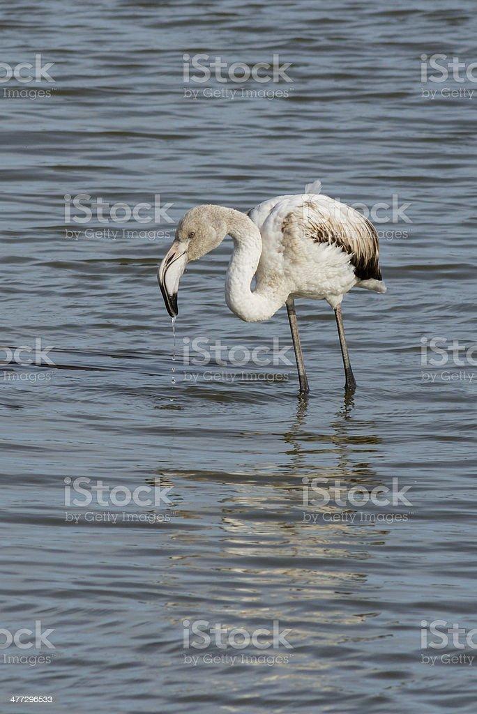 Young Greater flamingo, Phoenicopterus roseus stock photo