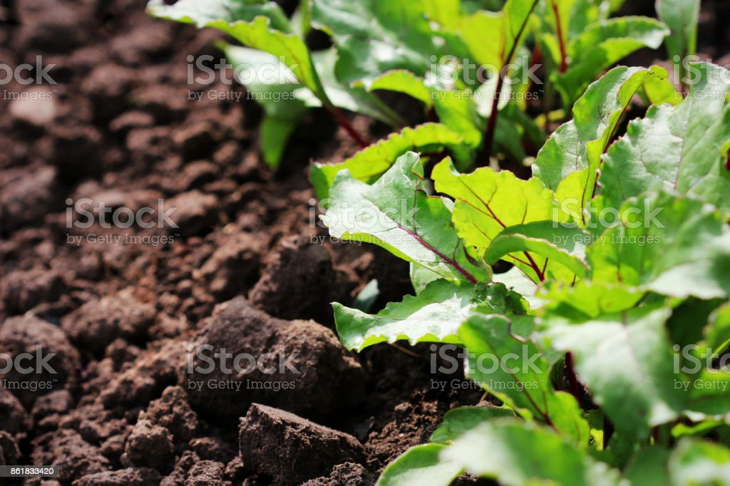 Young green beetroot plans on a path in the vegetable garden stock photo