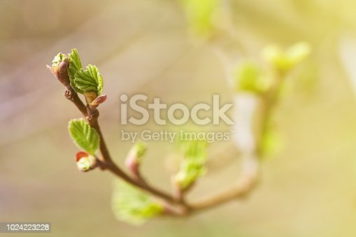 Young green buds and leaves blossoming on the branches of a tree. Nature background.