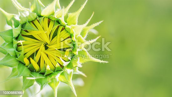 istock Young green closed sunflower on blurred green background. 1030689266