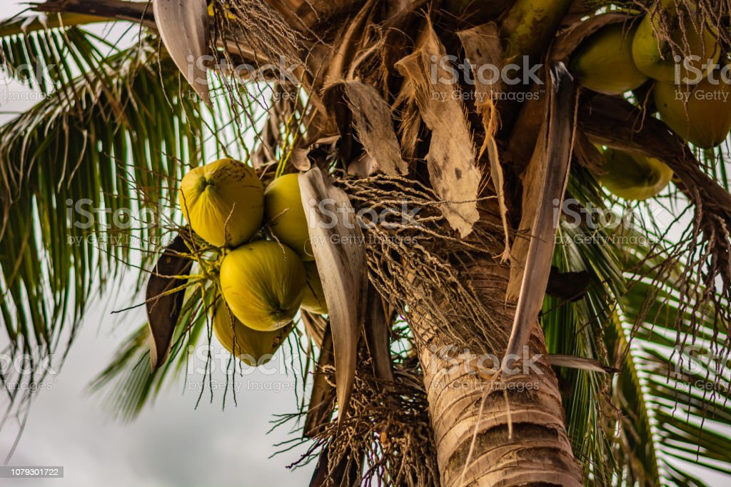 Young green coconuts on a coconut palm – zdjęcie