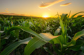 Young green corn growing on the field at sunset. Young Corn Plants. Corn grown in farmland, cornfield.