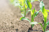 Young green corn growing on the field. Young Corn Plants.