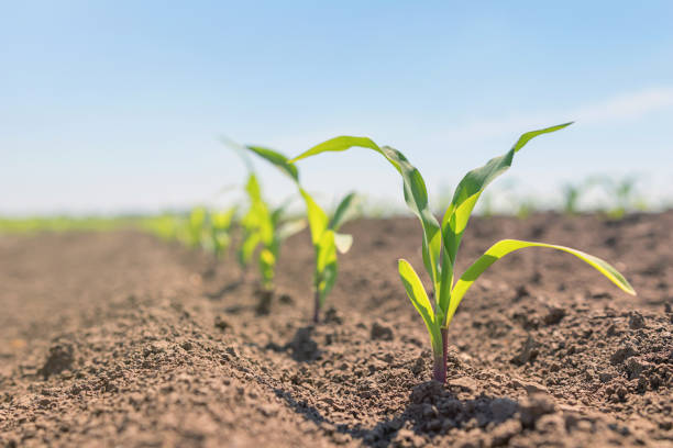 Young green corn growing on the field. Young Corn Plants. stock photo