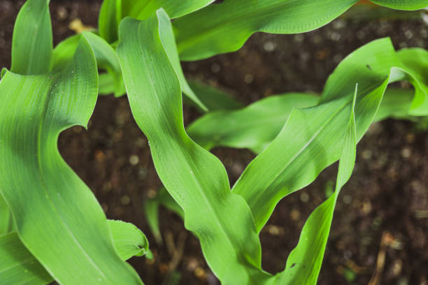 Young green corn plants growing in agricultural and organic garden. Selective focus close up for background stock photo