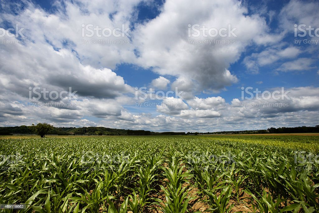 Young, green cornfield with blue cloudy sky on background stock photo