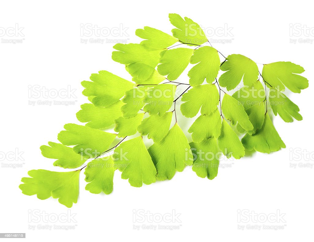 young green fern branch isolated on white background, closeup stock photo