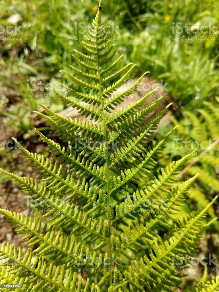Young green fern. zbiór zdjęć royalty-free